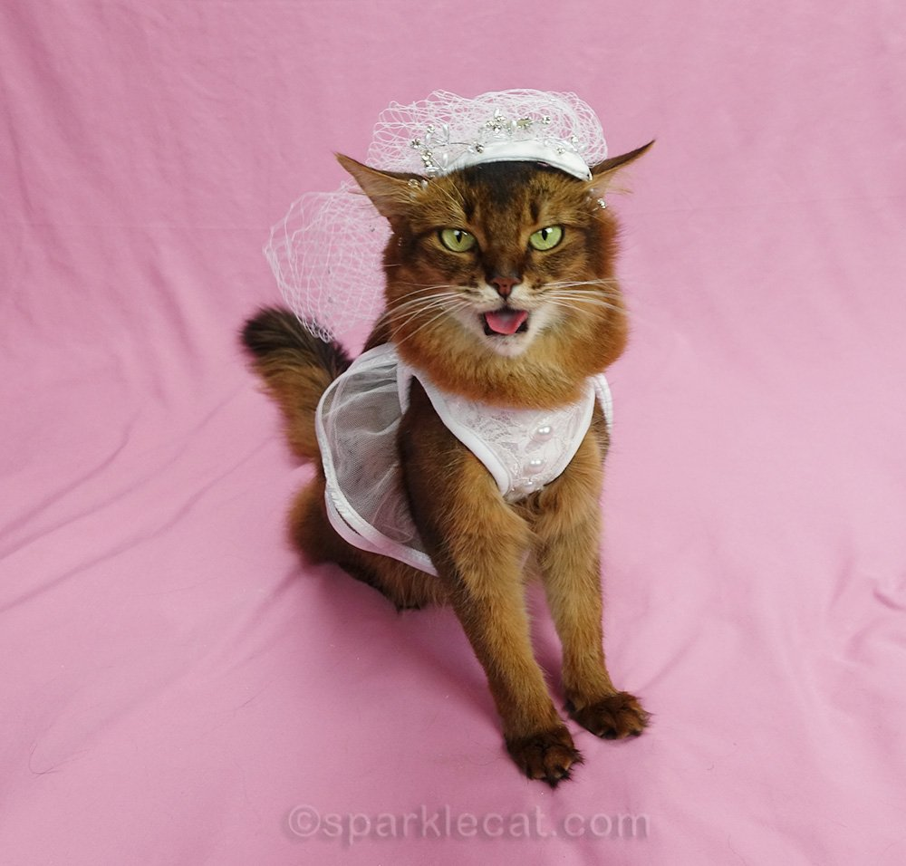 somali cat in wedding dress giving raspberry