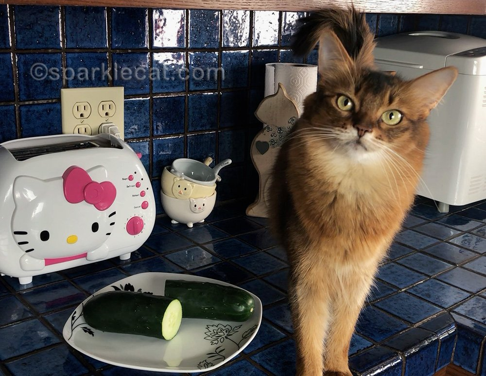 Somali cat with cucumber sliced in half