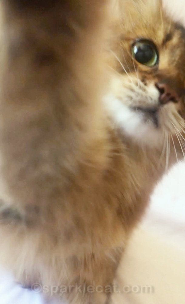 Somali cat with paw on camera