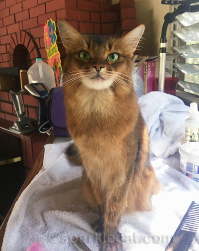 somali cat striking a pose after being groomed