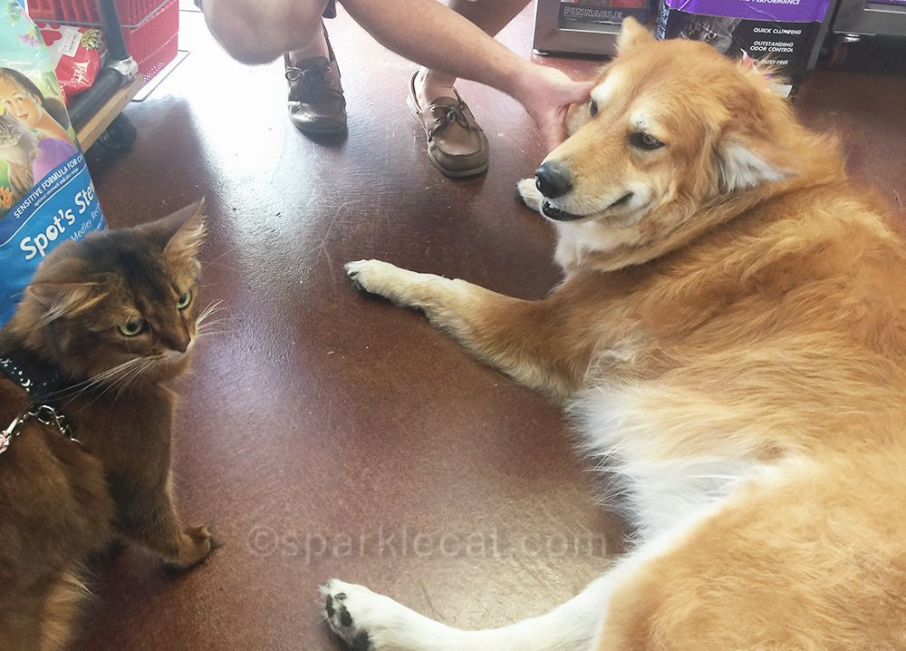 somali cat with big dog at pet store