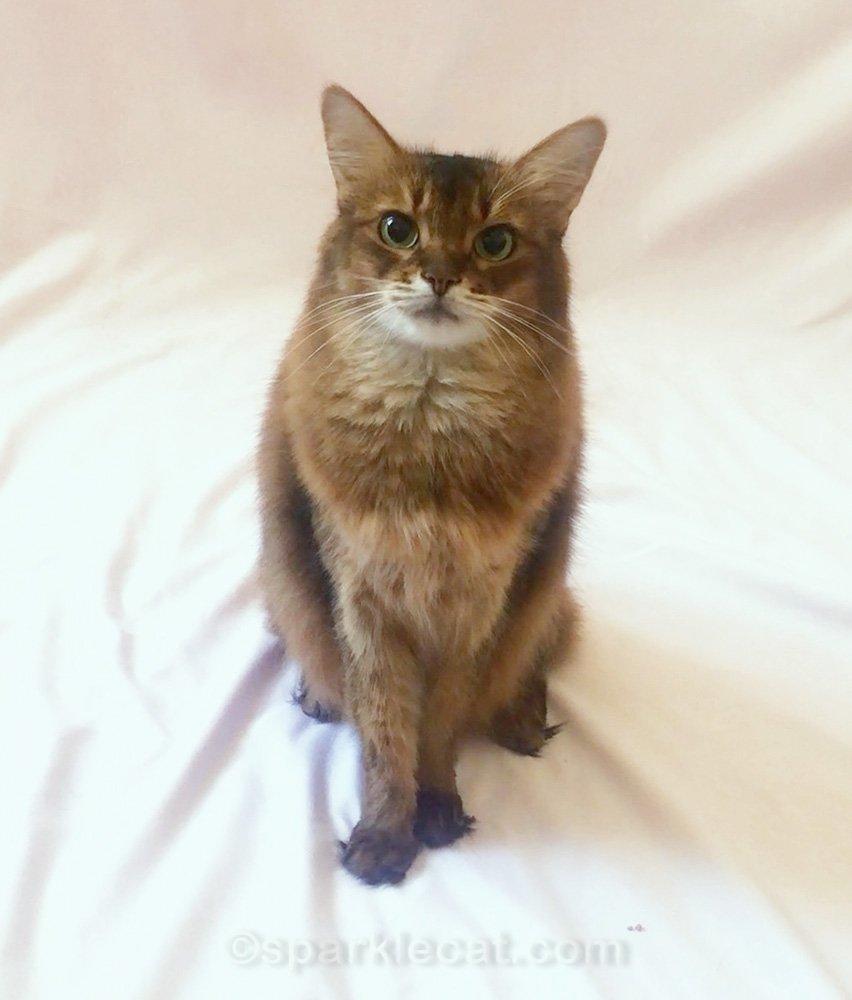 Somali cat in photo studio, waiting to go to work