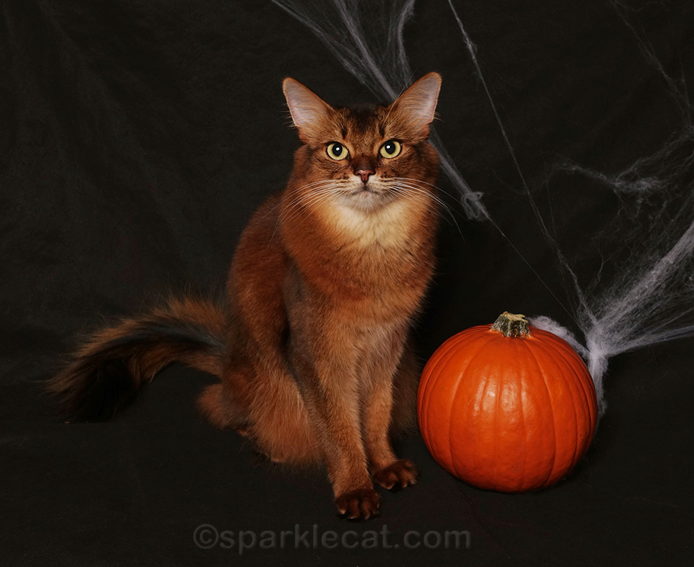somali cat posing with a pumpkin for her first Halloween photo session for 2018