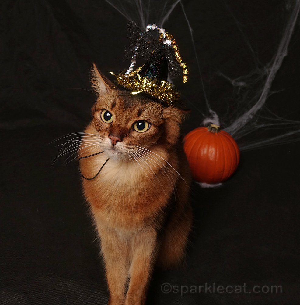 somali cat after her witch hat is put on