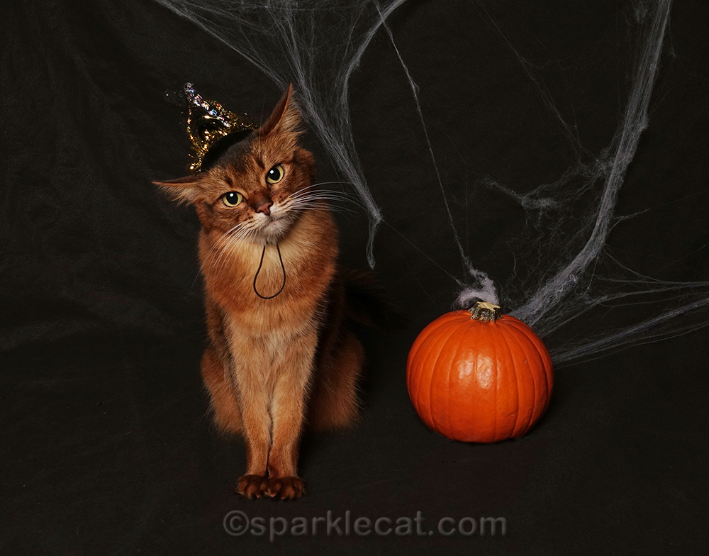 somali cat in witch hat for halloween shoot