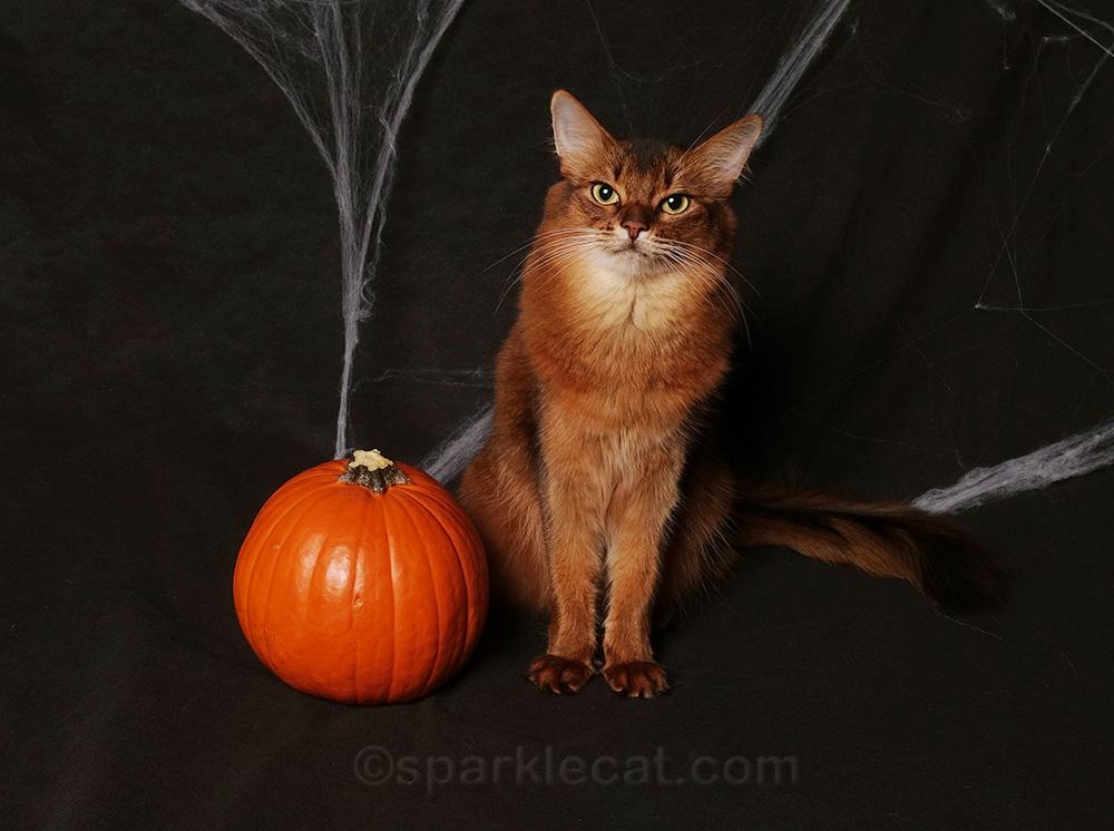 somali cat with pumpkin and cobwebs