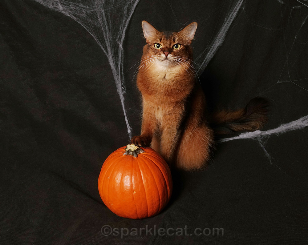 somali cat with paw on pumpkin