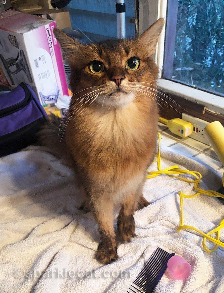 somali cat after show bath