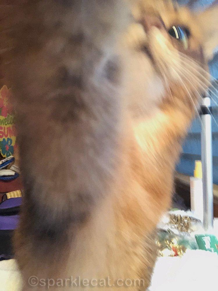 freshly groomed somali cat reaching for iPhone