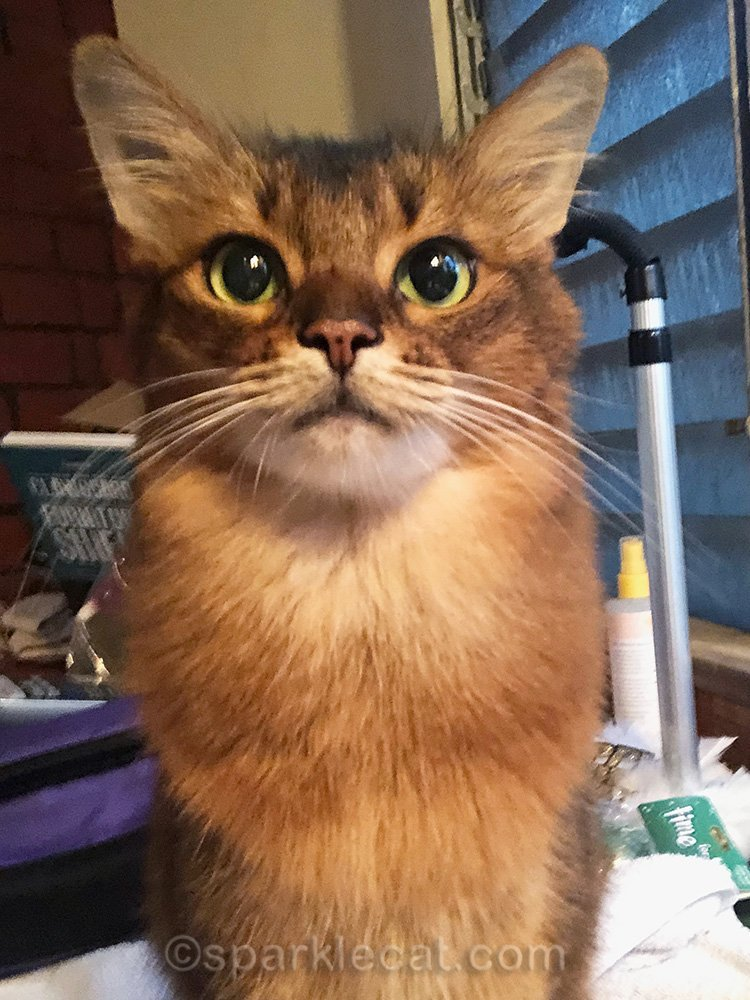 somali cat after bath selfie