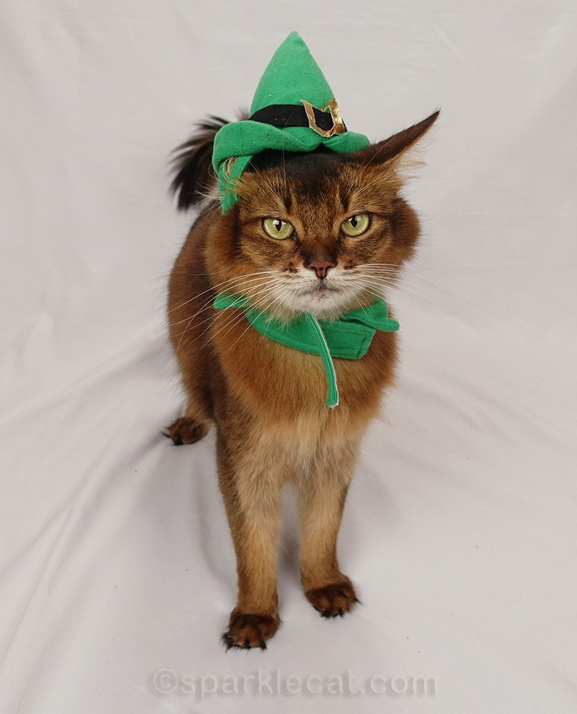 somali cat unhappy about elf hat