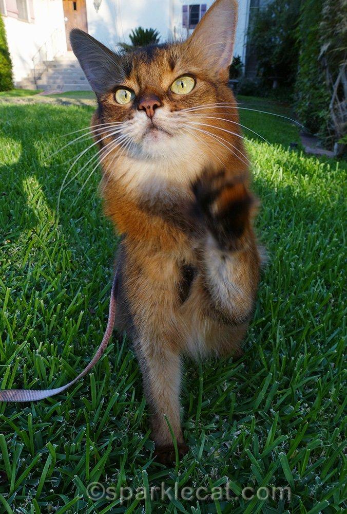 somali cat outside in grass outtake