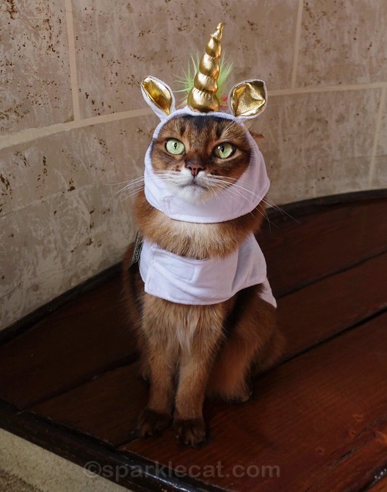 Somali cat sitting nicely in her uniform costume