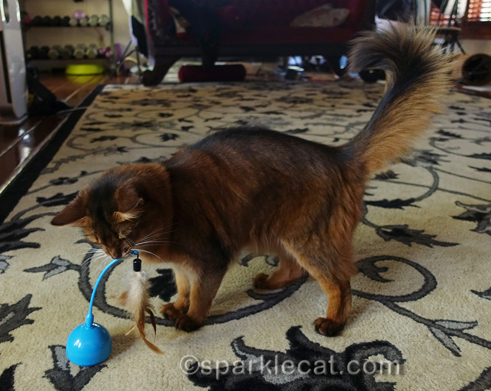 somali cat checking out action part of the OurPets Pounce House