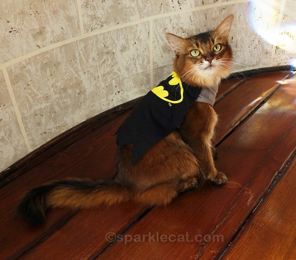 Somali cat showing off cape of Batkitty outfit