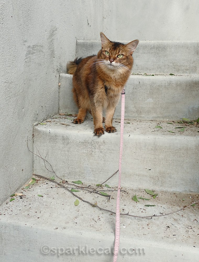 Somali cat on concrete stairs
