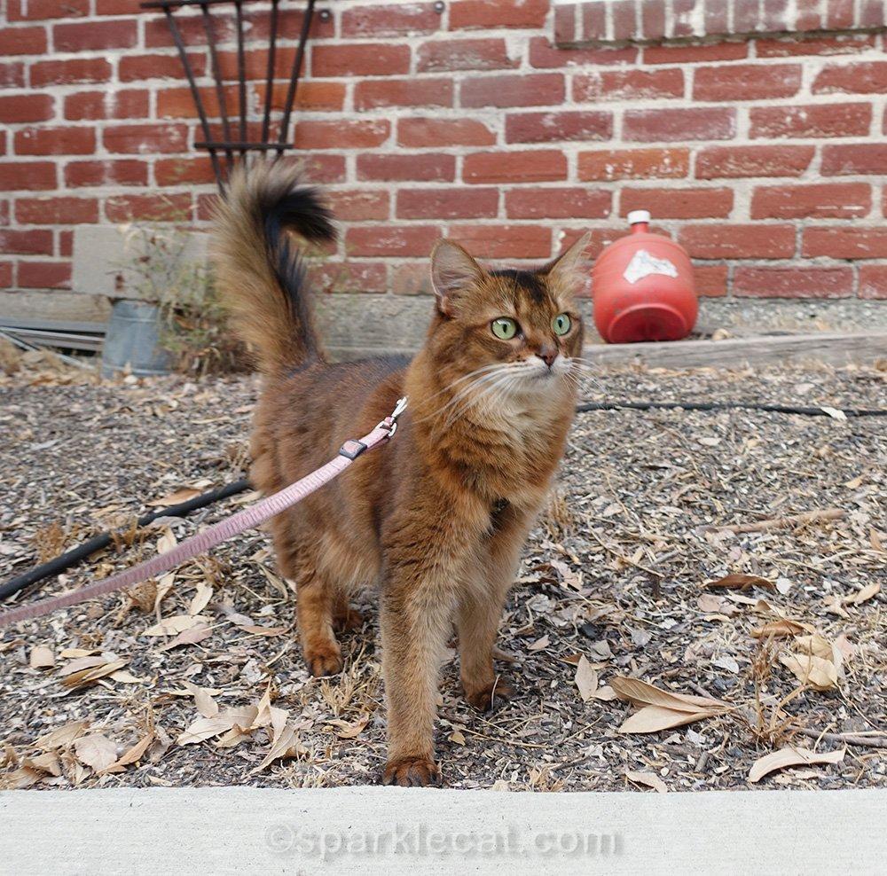 somali cat on neighbor's property