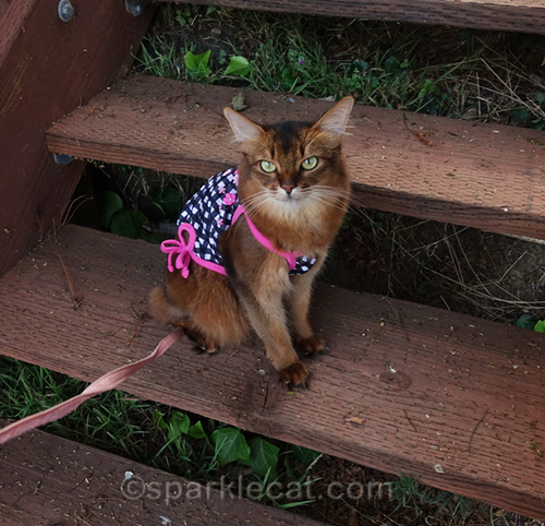 somali cat in tank top posing on wooden steps