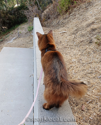 somali cat looking in the distance at lizard