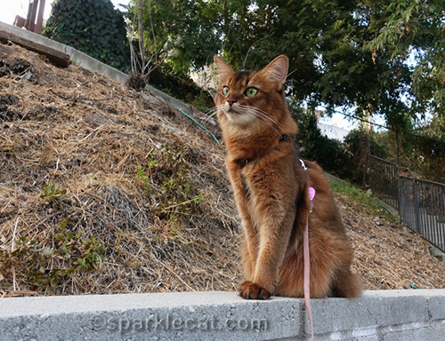 somali cat sitting on concrete wall
