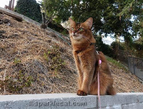 somali cat sitting on concrete wall
