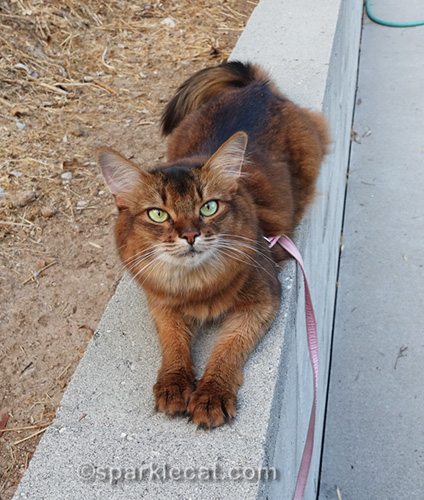 somali cat on concrete wall, making happy paws
