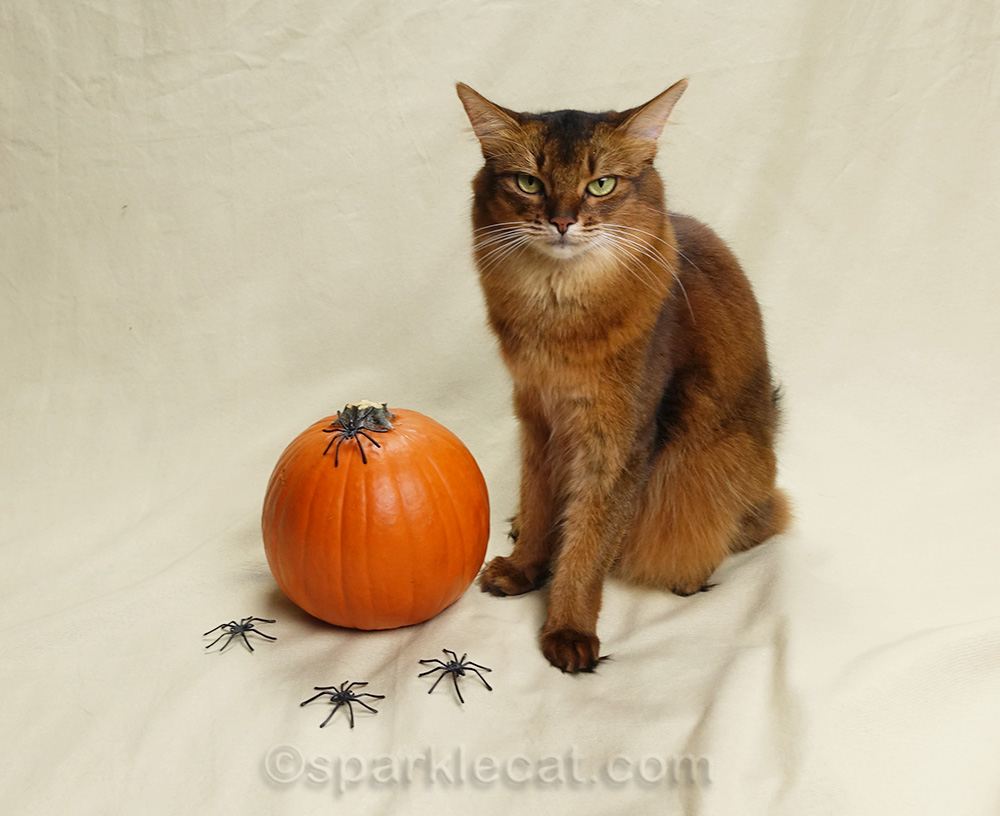 somali cat getting ready for second Halloween photo session