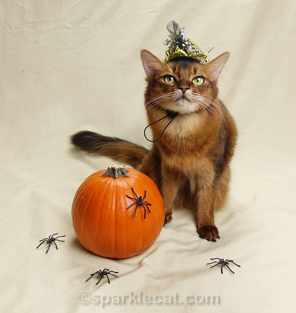 somali cat in witch's hat with pumpkin and spiders