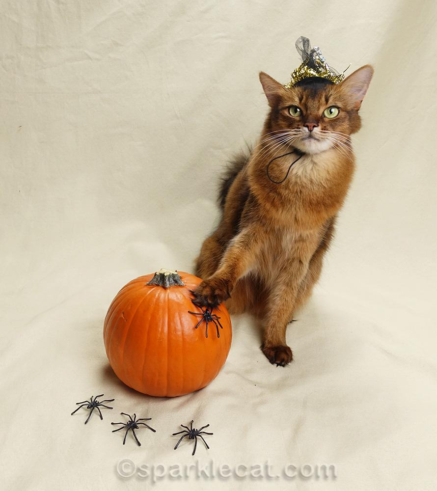somali cat with awkward paw on pumpkin