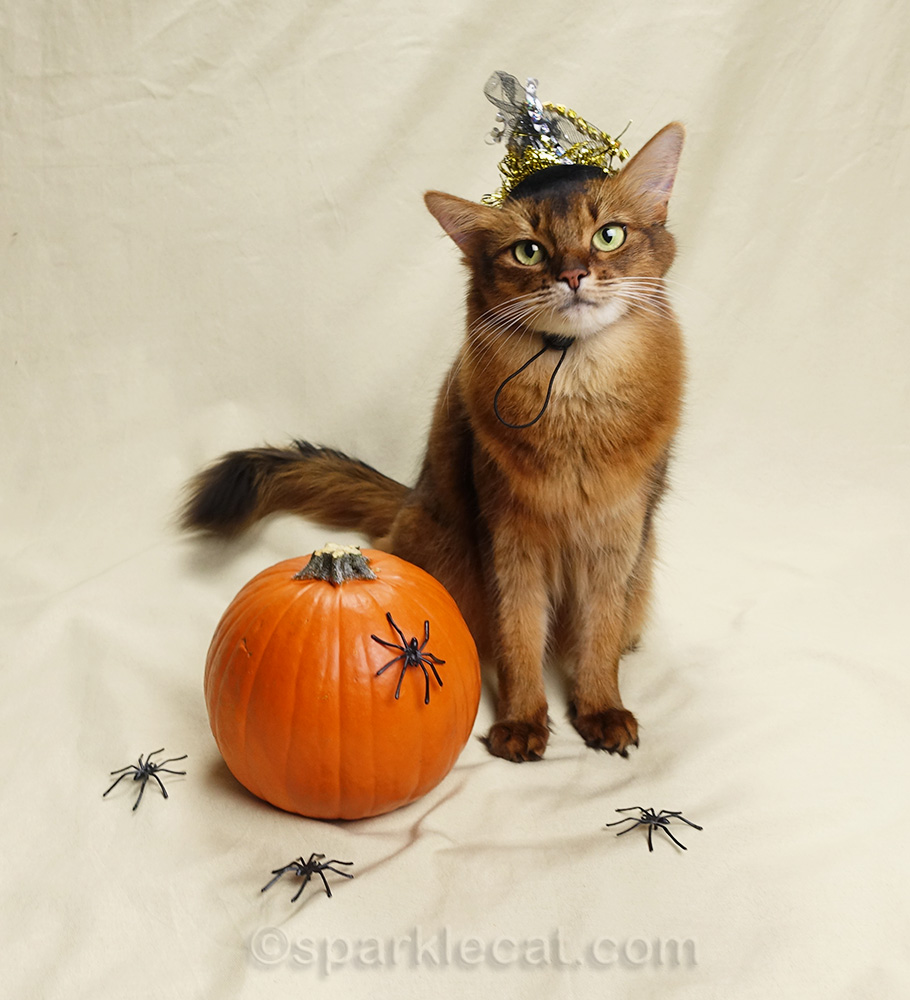 wistful looking somali cat in witch hat posing with pumpkin