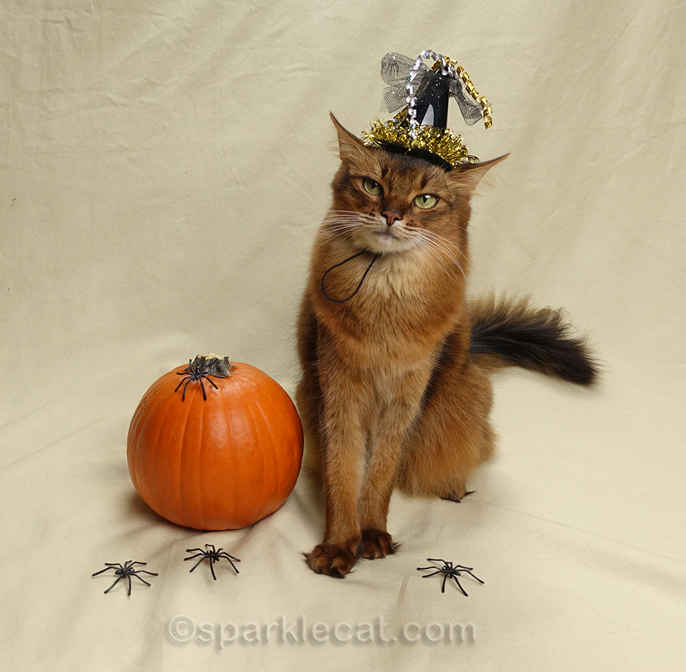 somali cat in witch hat looking a little crafty