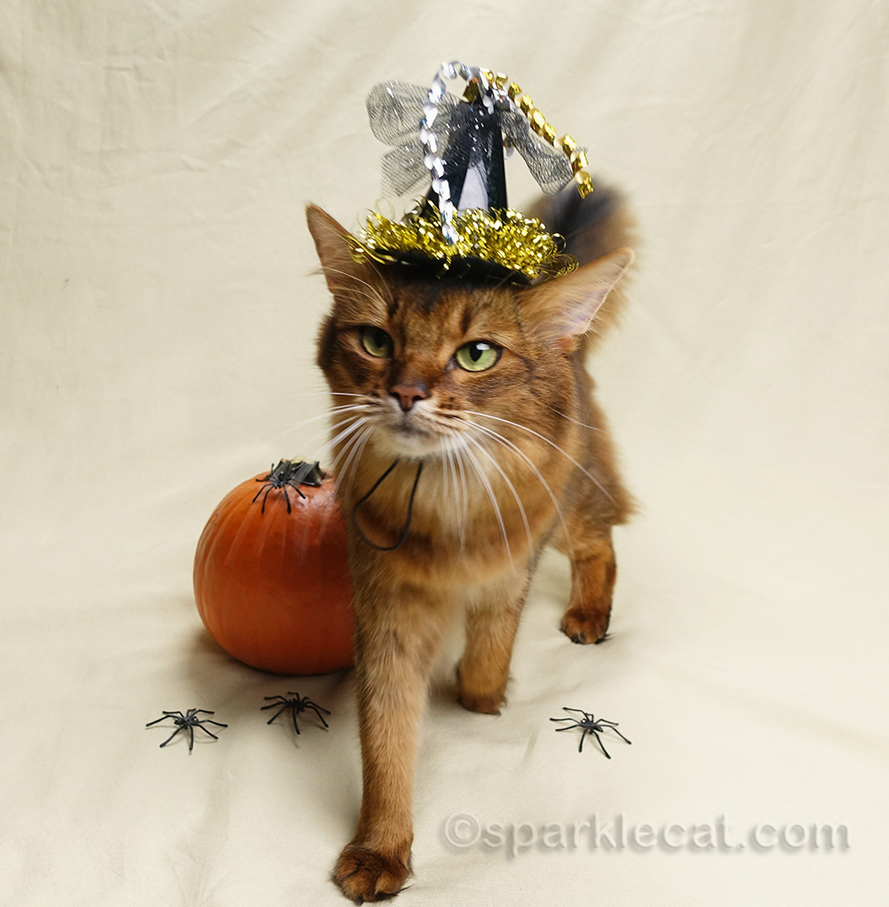 somali cat finished with Halloween photo session