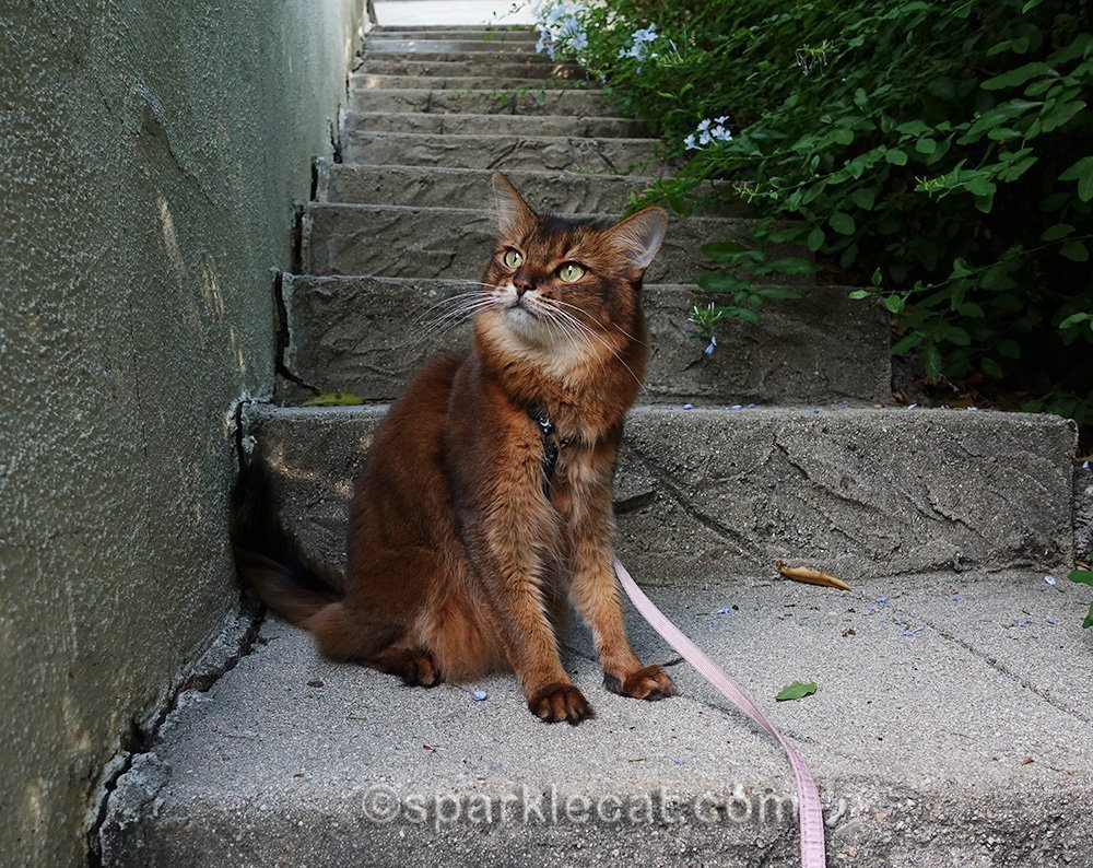 somali cat on stairs by side of house