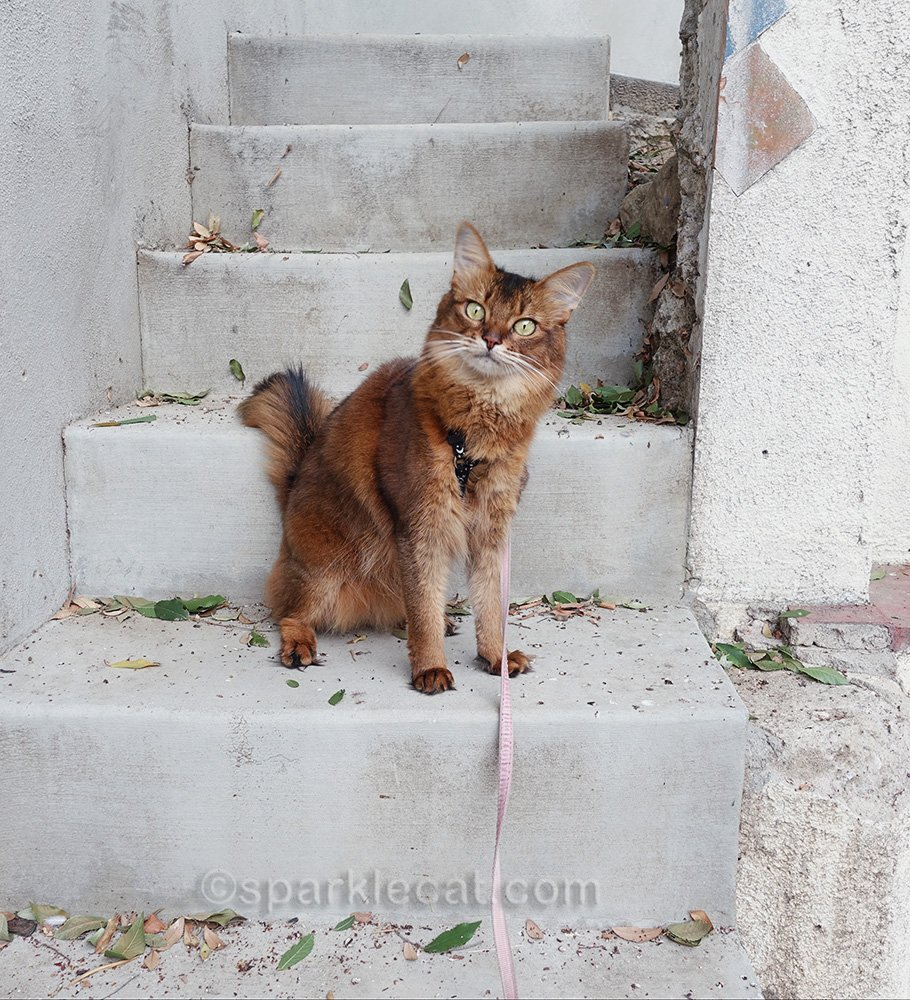 somali cat on stairs by kitchen