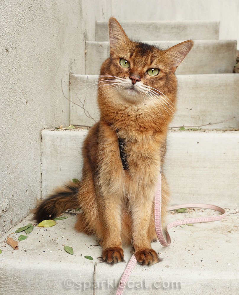 somali cat posing on stairs