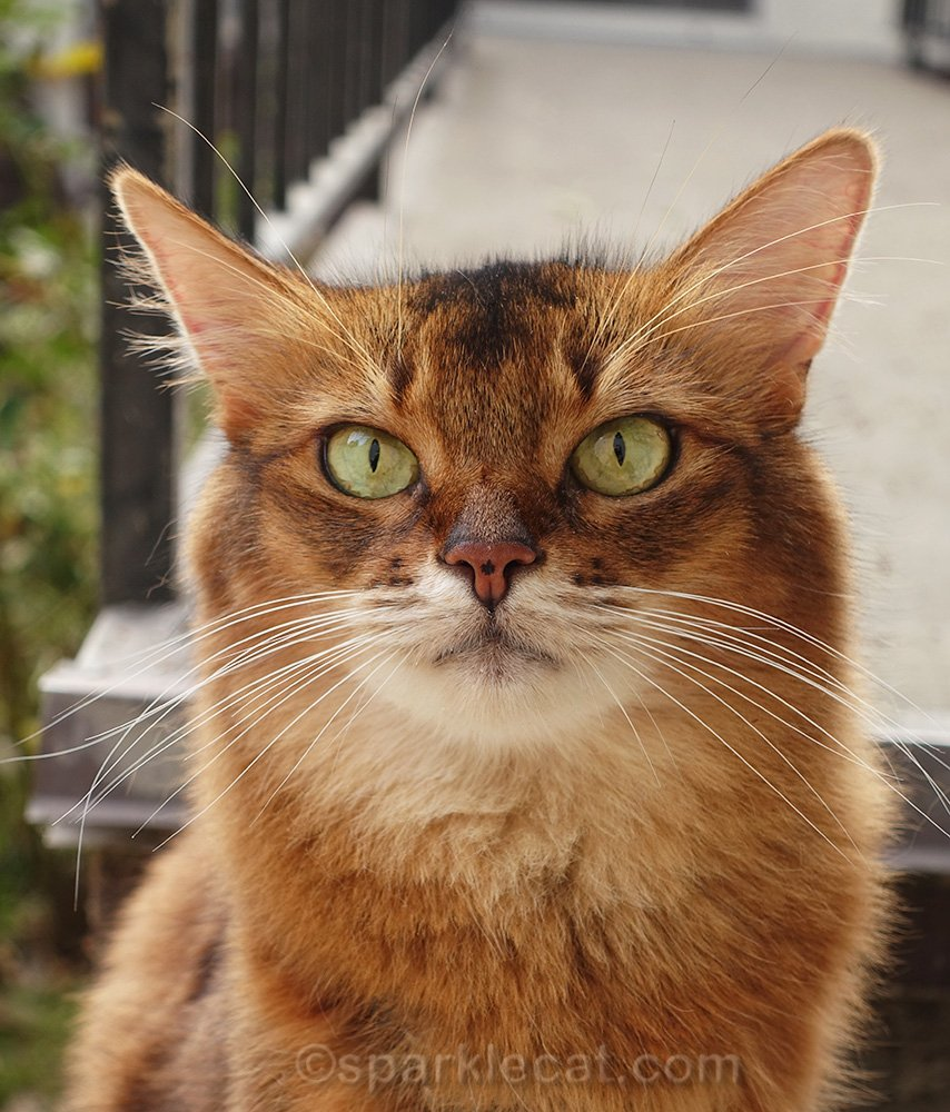 portrait of Somali cat