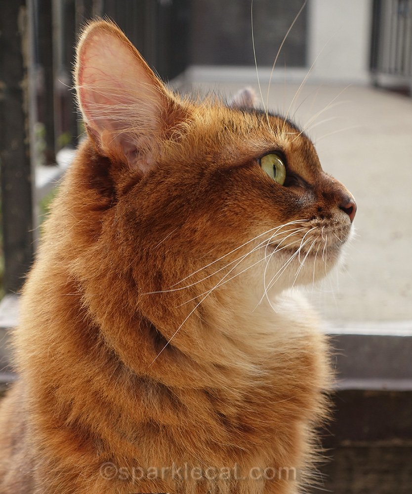 profile of somali cat