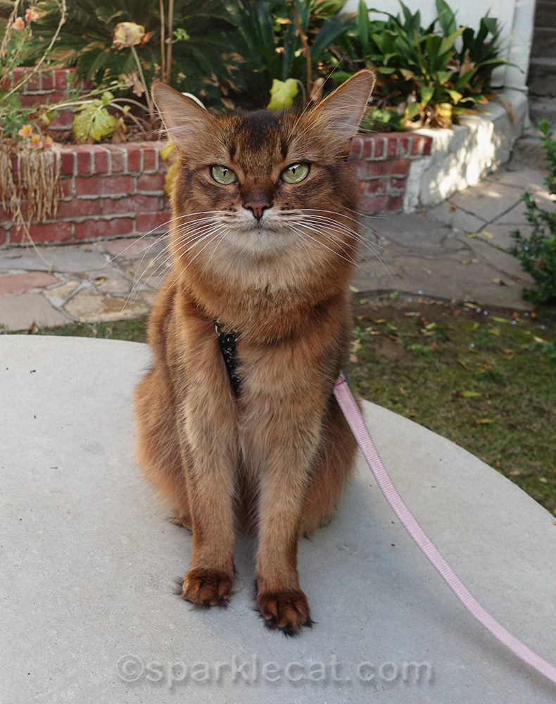 somali cat out in yard on leash
