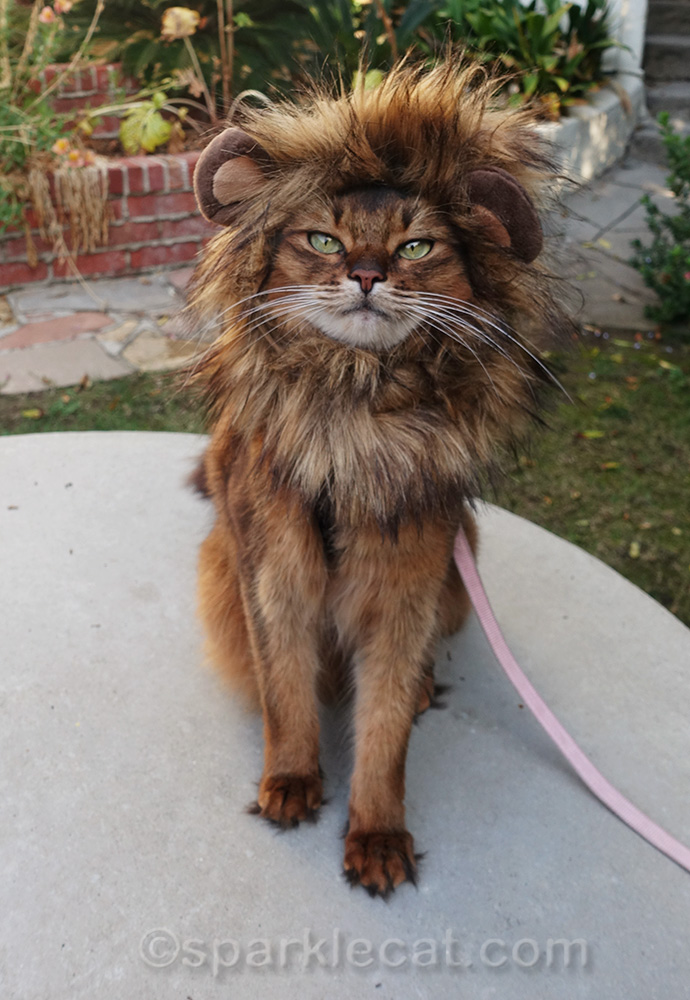 somali cat with lion mane cat costume
