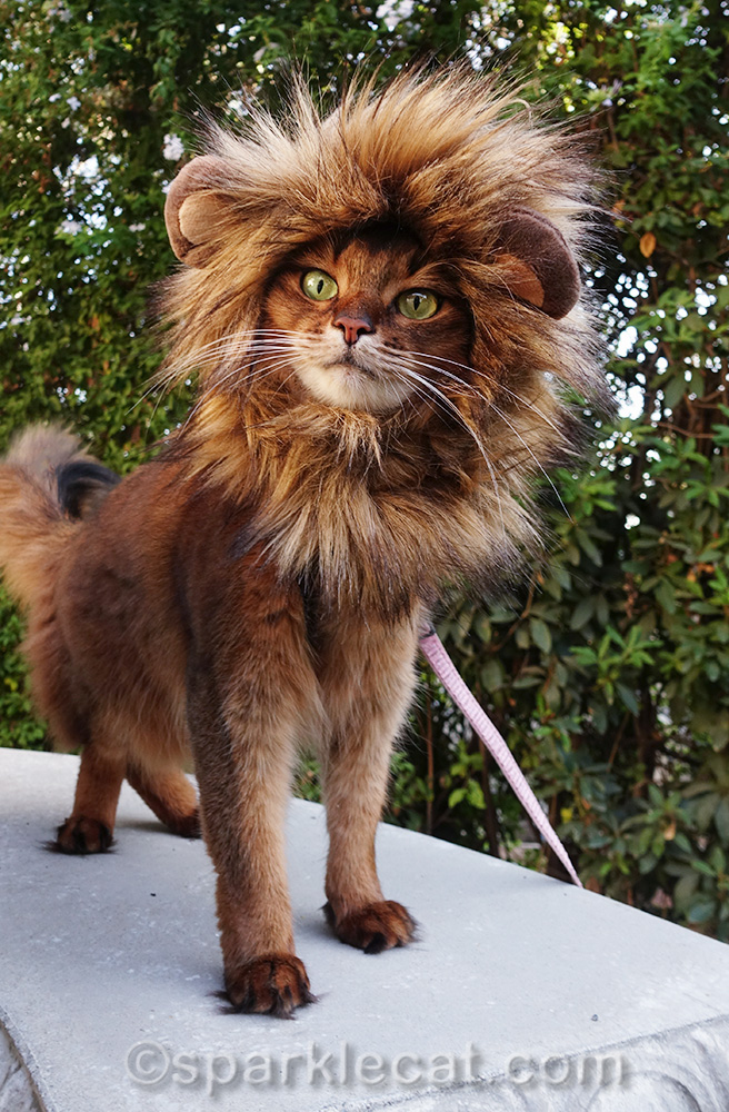 somali cat wearing lion mane and looking fierce