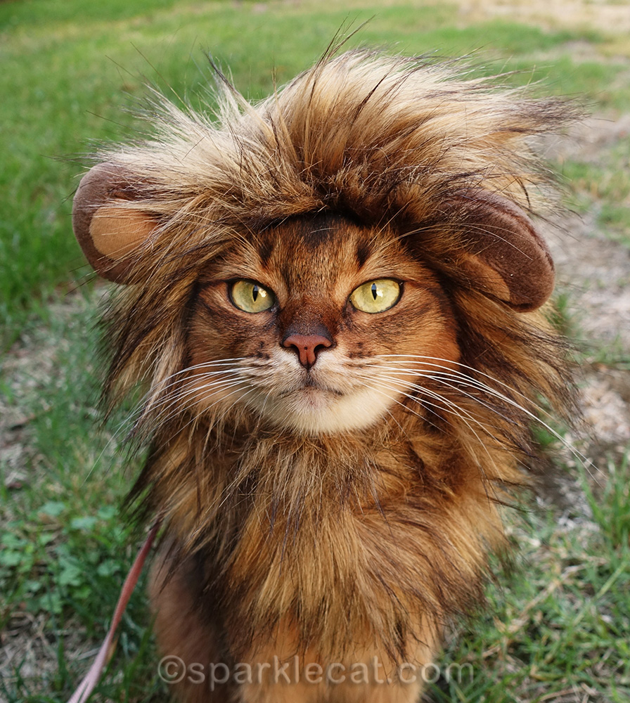 close up of somali cat wearing lion mane costume