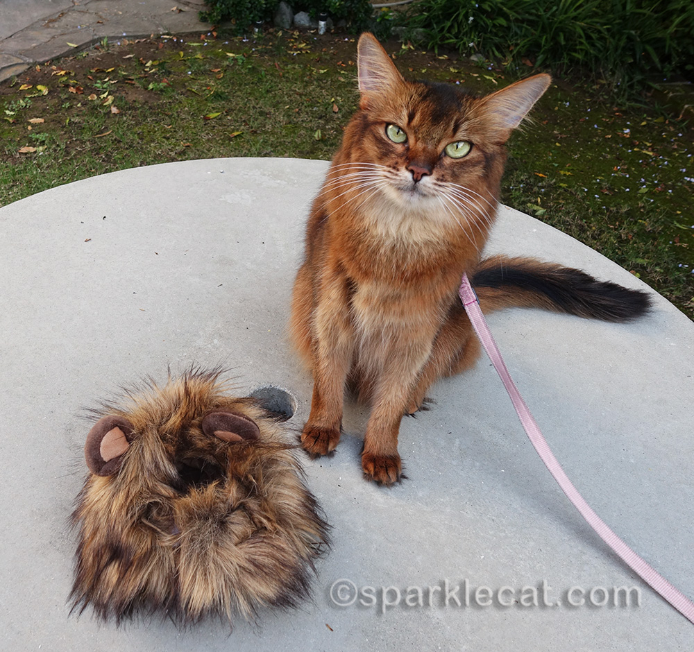somali cat sitting next to lion's mane cat costume