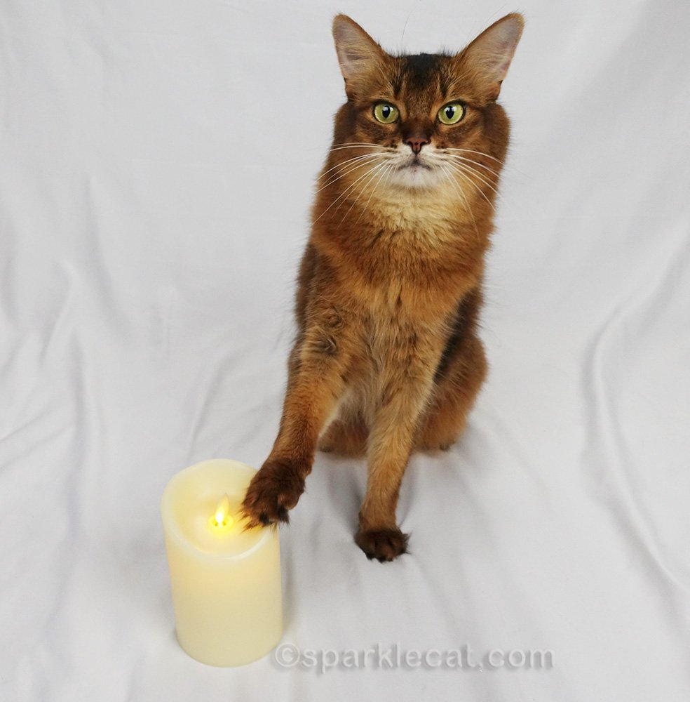 somali cat touching luminara candle