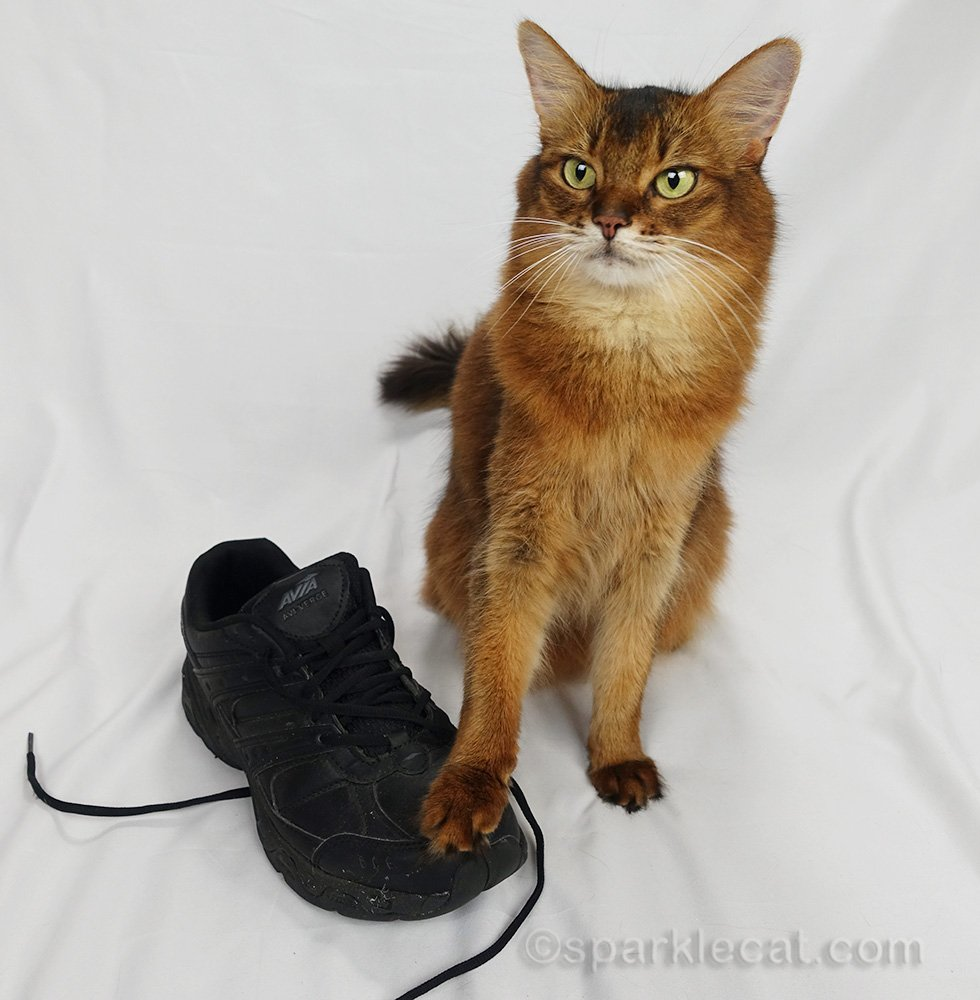 somali cat touching an old athletic shoe