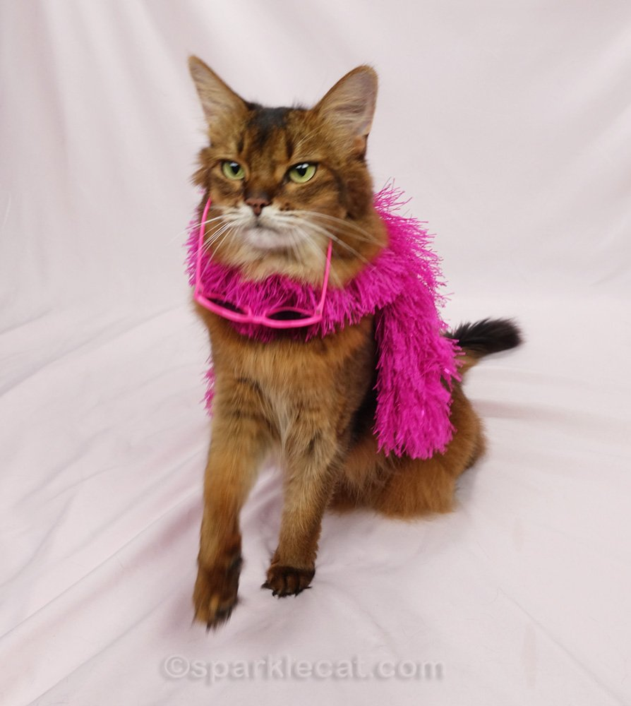 Somali cat with pink boa and sunglasses falling off