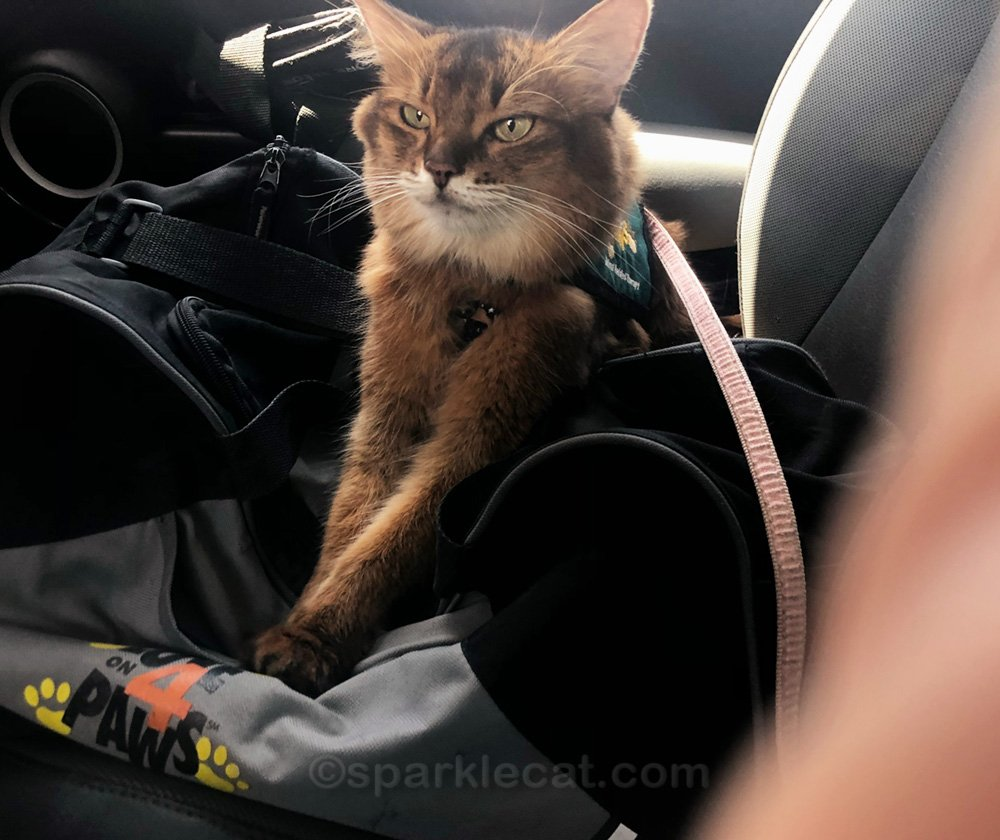 Therapy cat in car, with human's hand in the shot