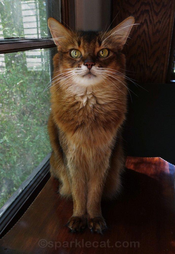 Somali cat posing by living room window