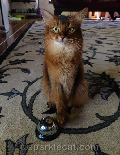 somali cat trying to ring desk bell