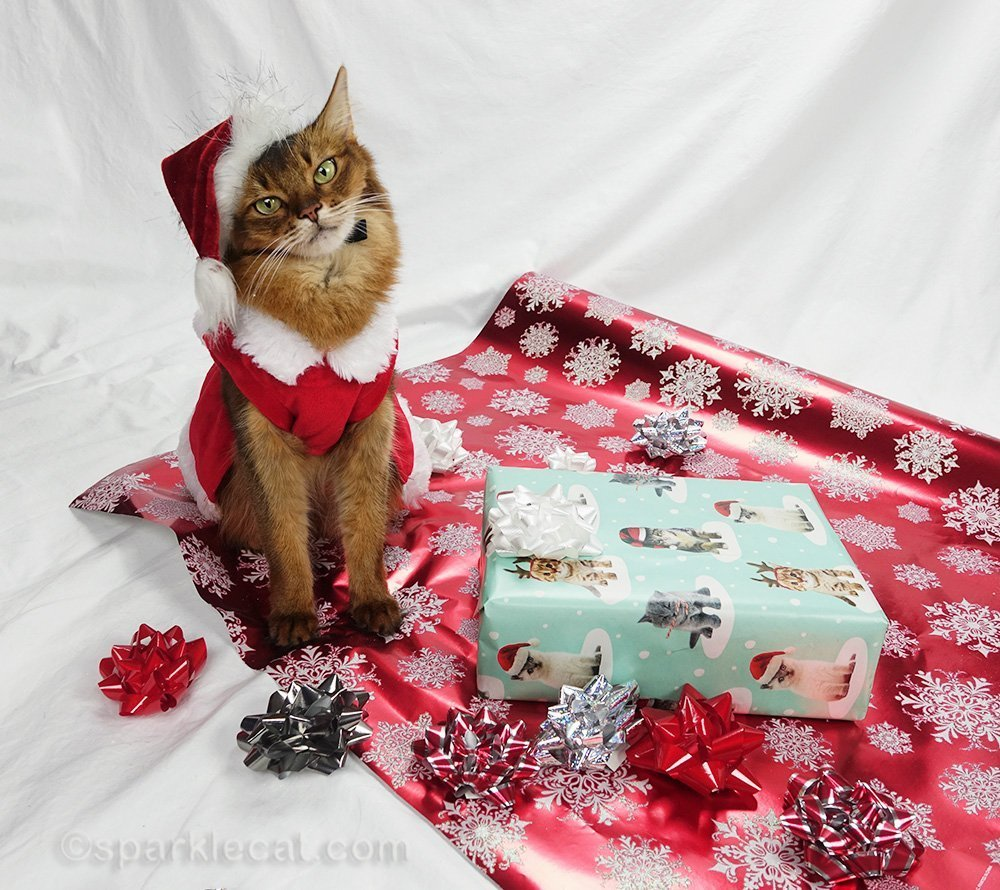 somali cat all spiffed up for Christmas