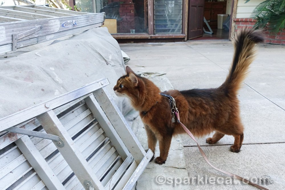 somali cat checking out house painting equipment